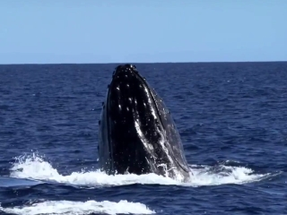 Humpback Whales: Pursuing A Female