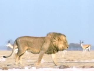 Lions 3d Roar Of The Kalahari The Lion And His Kingdom