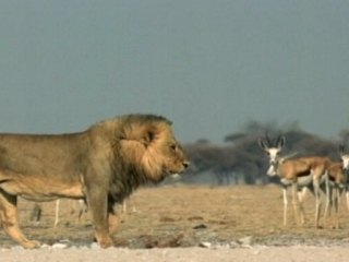 Lions 3D Roar Of The Kalahari
