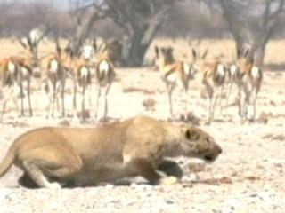 Lions 3d Roar Of The Kalahari The Older Lioness Hunts