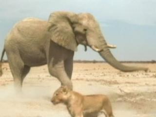 Lions 3d Roar Of The Kalahari Elephant