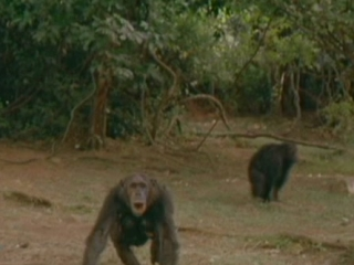 Jane Goodalls Wild Chimpanzees