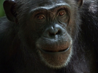 Chimpanzee Extended Family French - Chimpanzee - Flixster Video
