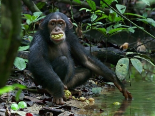 Chimpanzee Savor The Flavor French - Chimpanzee - Flixster Video