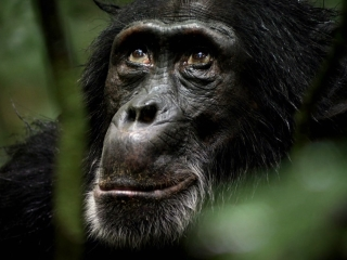CHIMPANZEE: PRESERVATION OF CHIMPANZEES (FRENCH)