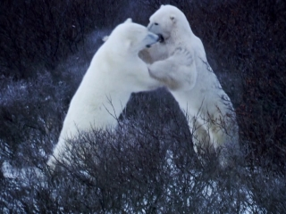 Operation Maneater: Polar Bear