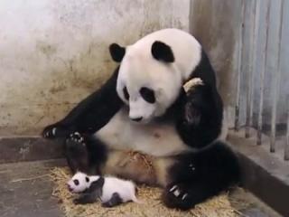 Sneezing Baby Panda The Movie