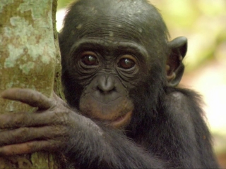 Bonobos Back to the Wild