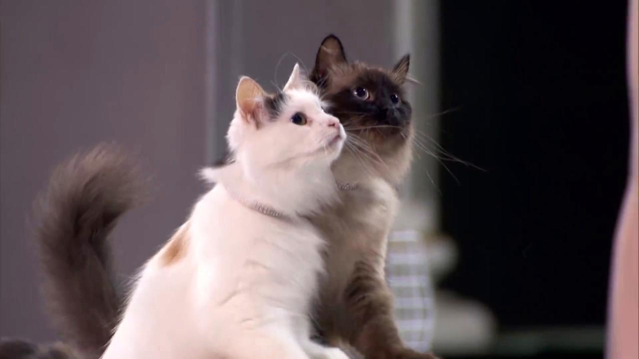 America's Got Talent: Savitsky Cats Jump Through Hoops
