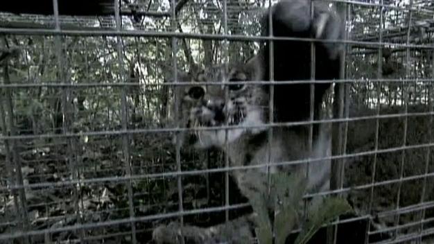 Billy The Exterminator: Bobcat Battle