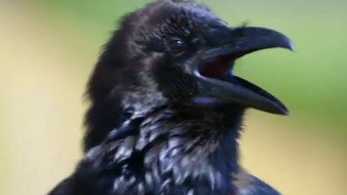Nova: Inside Animal Minds: Bird Genius