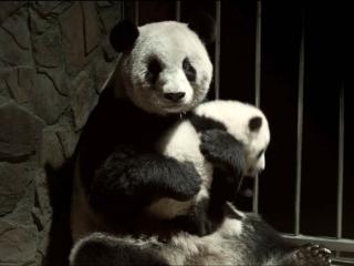 Pandas (Trailer 1)