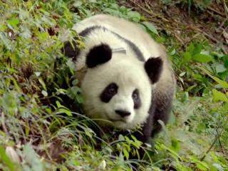 Pandas: Join Now Playing (TV Spot)