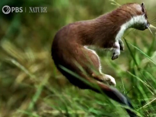 Nature: The Mighty Weasel