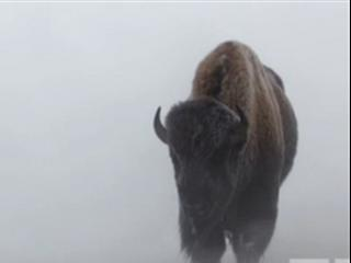 Yellowstone: Battle For Life (Winter Clip 1)