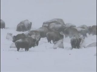 Yellowstone: Battle For Life (Winter Clip 7)