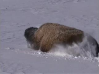 Yellowstone: Battle For Life (Winter Clip 8)