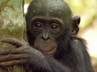 Bonobos Back to the Wild